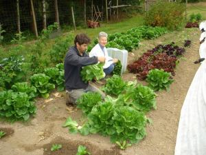 Summer Fun Harvesting Lettuce at Sweeter Valley Farm