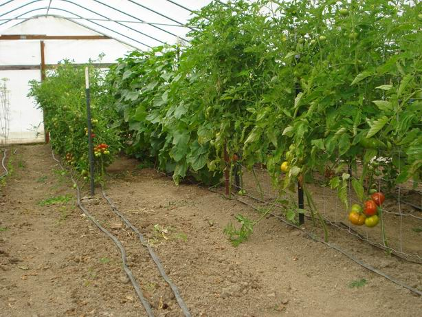 Greenhouse Tomatoes and Cucumbers