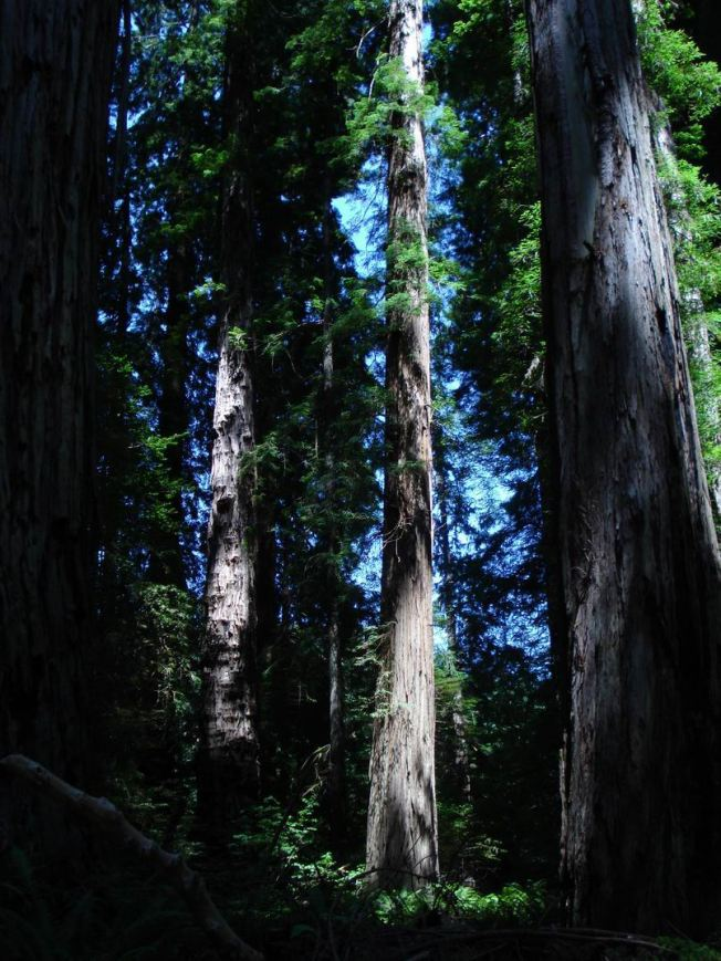 Redwoods Holding the Frequency of our Pristine Origins