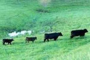 cows-traveling-trails-through-pasture-large