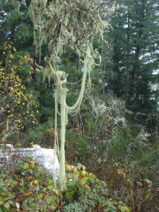 Lichen-draped Tree