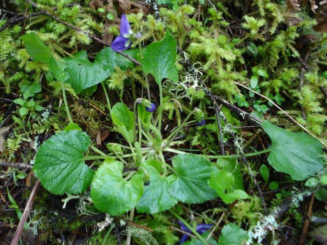 first-violets-near-cabin-5