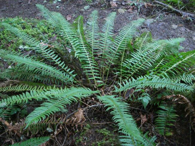 Lush ferns begin their renewal after many months of dormancy.